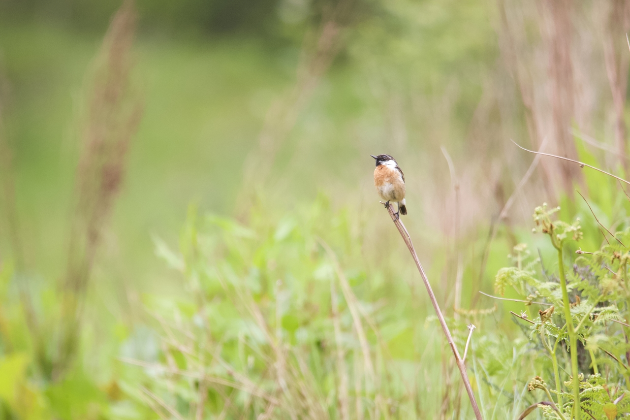 Stonechat catching some rays